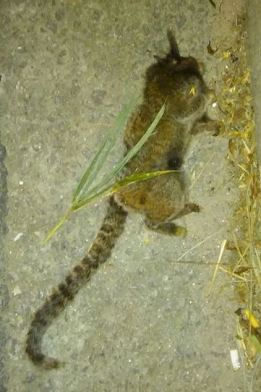 macaco encontrado em Poá